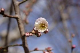 梅の花 20100316開花