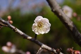 梅の花 20100315開花