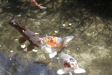 我家の池の鯉