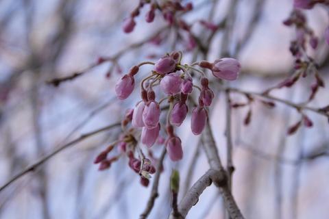 桜 蕾みです