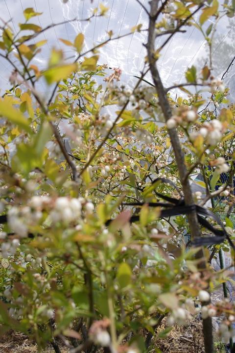 ブルーベリーの花園