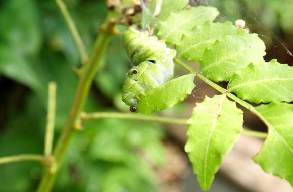 アゲハの幼虫 キャタピー