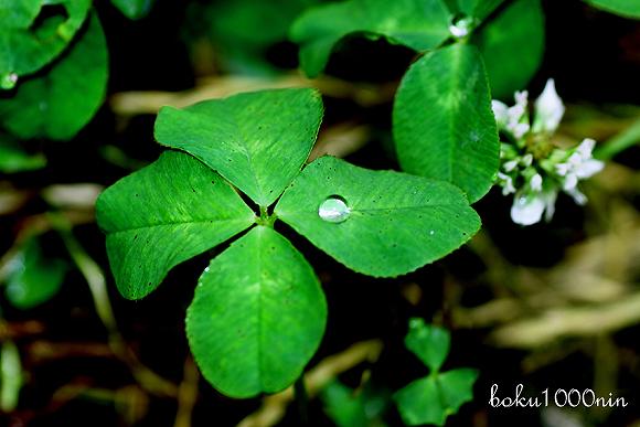 Four-leaf clover