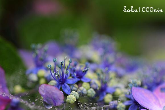 Indigo blue hydrangea